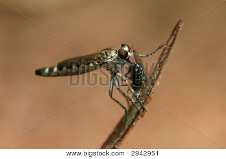 Metallic Robber Fly