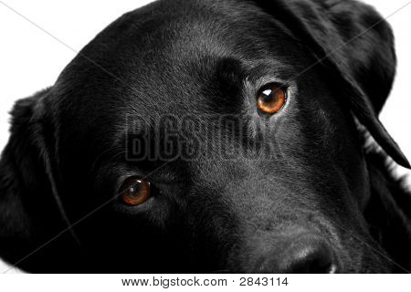 Labrador Head With Bright Eyes