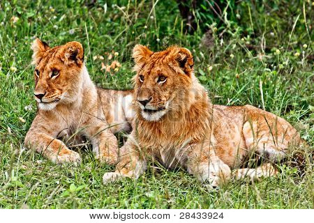 Small Lion and Lioness