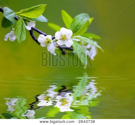 Tree Branch With Cherry Flower Reflecting In The Water, Shallow Focus