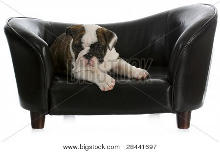 dog on couch - english bulldog puppy laying on dog couch with reflection on white background