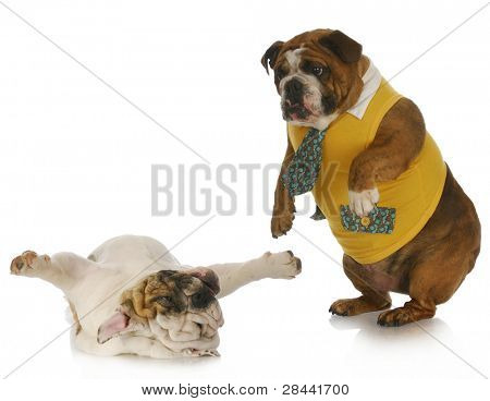 silly dogs - english bulldog standing looking down at another laying on back