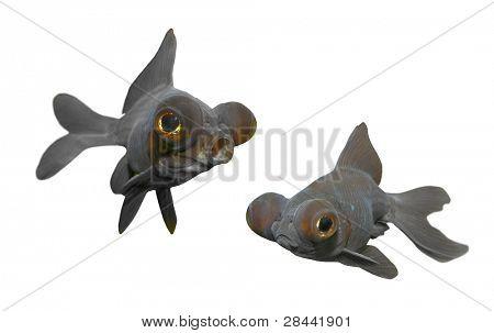 Funny goldfish - Black moor (Carassius auratus). Close up with shallow DOF.