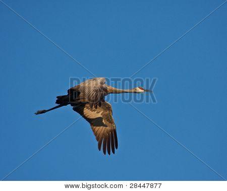 Solo Crane In Flight