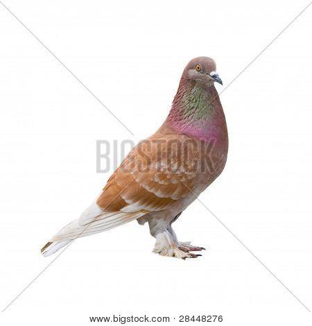 Brown Dove