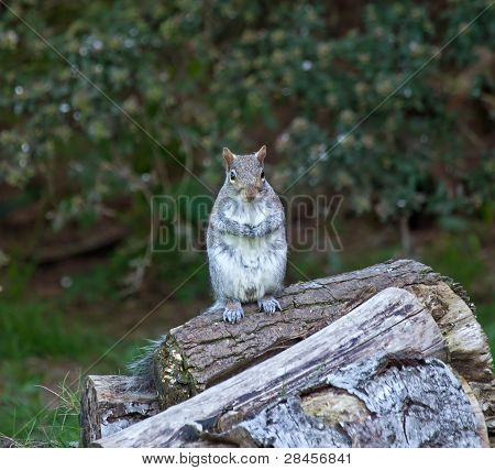Grey Squirrel Upright