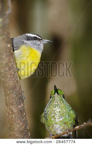 Hummingbird & Bananaquit