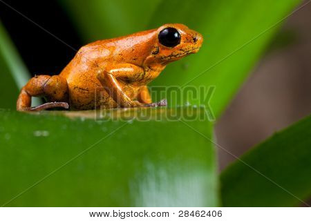 orange poison dart frog sitting on leaf in amazon rainforest Panama, terrarium pet animal with copy space