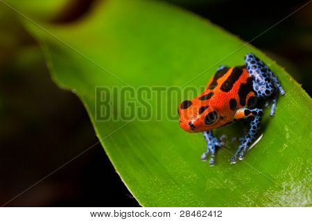 red poison frog sitting on green leaf in amazon rain forest of Peru poisonous animal with warning colors