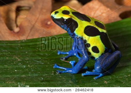 poison dart frog with bright yellow blue and black colors, toxic amphibian of amazon rain forest poisonous animal warning colors