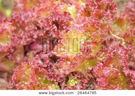 Lollo Rosso Lettuce Close-up