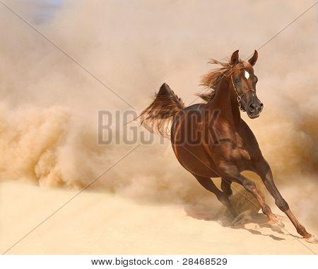 running arabian