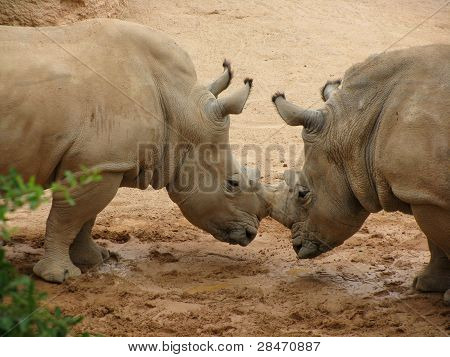 Rhinoceros locking horns