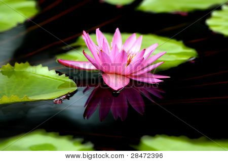 Duplicated Lily