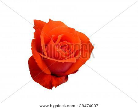 A rose isolated