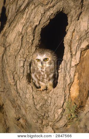 Bird-Screech Owl