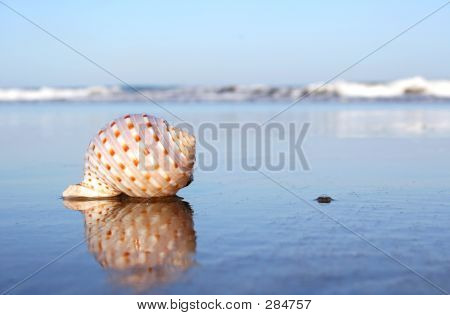 Seashell Reflected