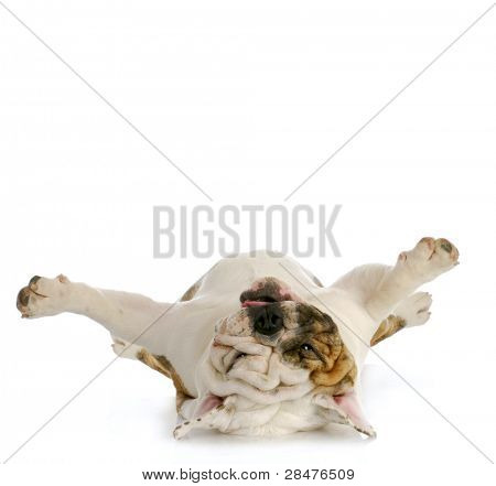 dog upside down - english bulldog laying on back looking up