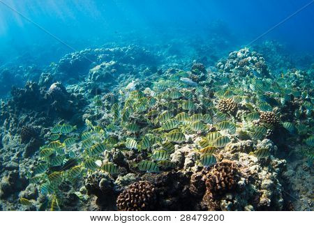 Tropical Reef in Hawaii Underwater