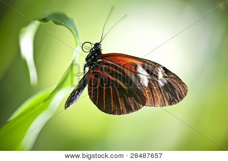 Small Postman Butterfly