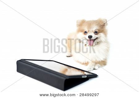 The Cute Pomeranian Dog Over White With Ipad