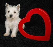 picture of westie  - Westie puppy sitting with a red heart that has copy space on a black background - JPG