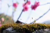 Close Up Of Blooming Springtime Moss. Abstract Composition With Moss Flowers,beautiful Moss And Lich poster