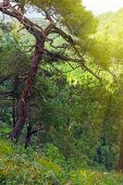 Pine With A Curved Trunk On A Green Mountain Slope. Sunflare. poster