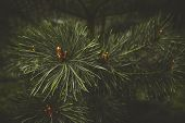 Fir Tree Brunch Close Up. Shallow Focus. Fluffy Fir Tree Brunch Close Up. poster