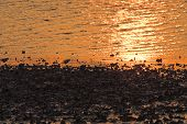 picture of clam digging  - An oyster or clam bed at sunrise or sunset - JPG
