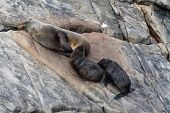 New Zealand Fur Seal, Arctocephalus Forsteri, Long-nosed Fur Seal Feeds Its Baby Puppy. Australasian poster