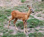 image of cervus elaphus  - Deer on the background of green grass (Cervus elaphus) ** Note: Slight blurriness, best at smaller sizes - JPG