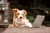 Adorable Red Dog Border Collie Sitting On Railing And Playing Laptop With Happiness Face poster