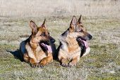 picture of german shepherd  - two Germany sheep - JPG