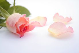 foto of pink rose  - Isolated pink rose with petals on the side over white - JPG
