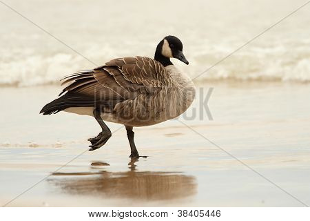 Canada Goose Wading In Shallow Water