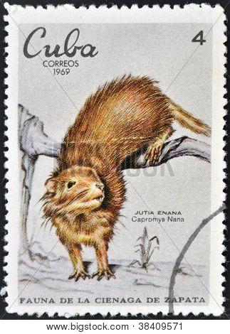 CUBA - CIRCA 1969: A stamp printed in cuba dedicated to fauna of the Zapata swamp shows jutia dwarf