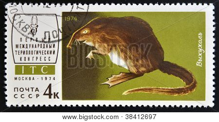 USSR - CIRCA 1974: a stamp printed in Russia shows muskrat circa 1974