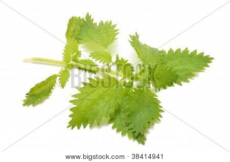 Branch nettle leaves
