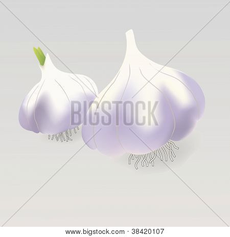Vector garlic