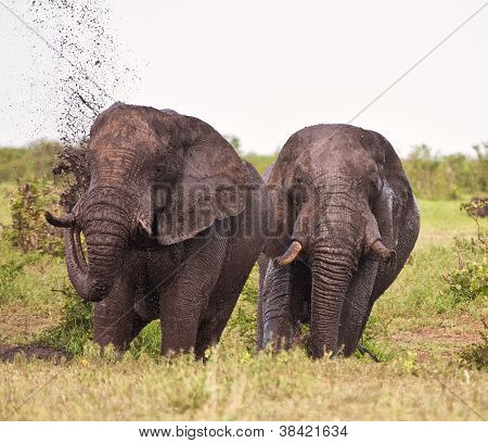 Two Elephant Having A Mud Bath Splash