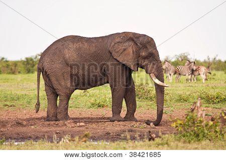 Single Elephant Standing At Waterhole