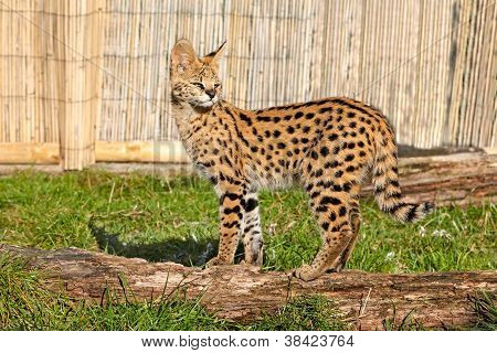 Serval Kitten Standing On Log In Sunshine