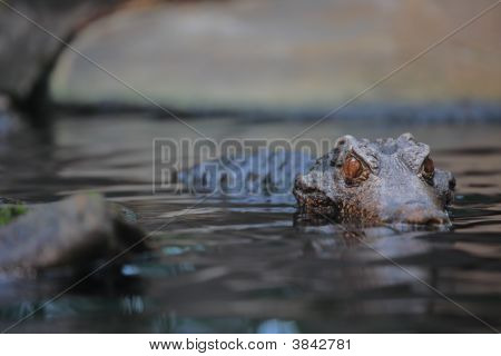 Alligator In The Wilderness