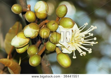 A Bunch Of Durian's Flower Bud