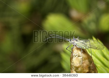 Blueish insect with airy wings