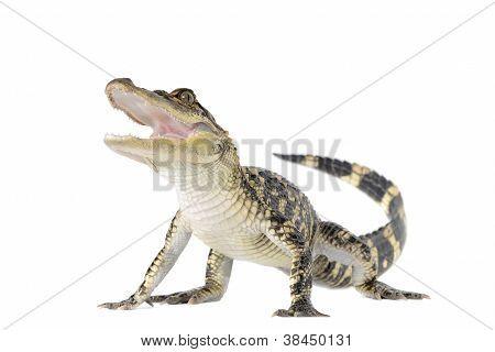 Aligátor Americano
