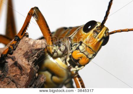 Romalea Guttata Grasshopper