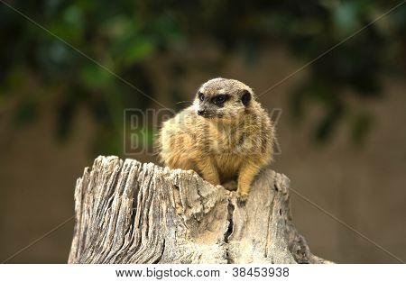 Meerkat lies low
