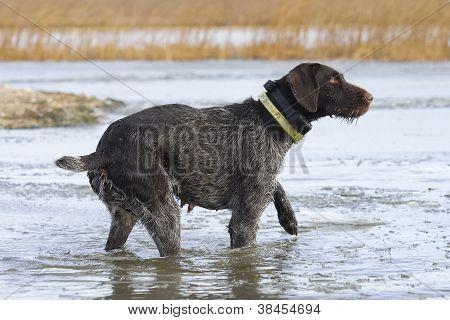 Drahthaar Hunting Dog